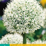 Allium Mont Blanc - Ail d'Ornement