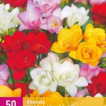 Freesias Doubles en Mélange