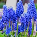 Muscari Armeniacum - Jacinthes à grappes (XL-Emballage)