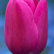 planter des tulipes quand planter les bulbes avec. Black Bedroom Furniture Sets. Home Design Ideas